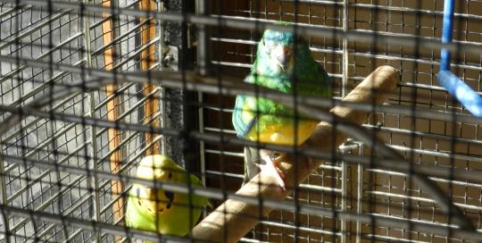 Singing Parrots :)